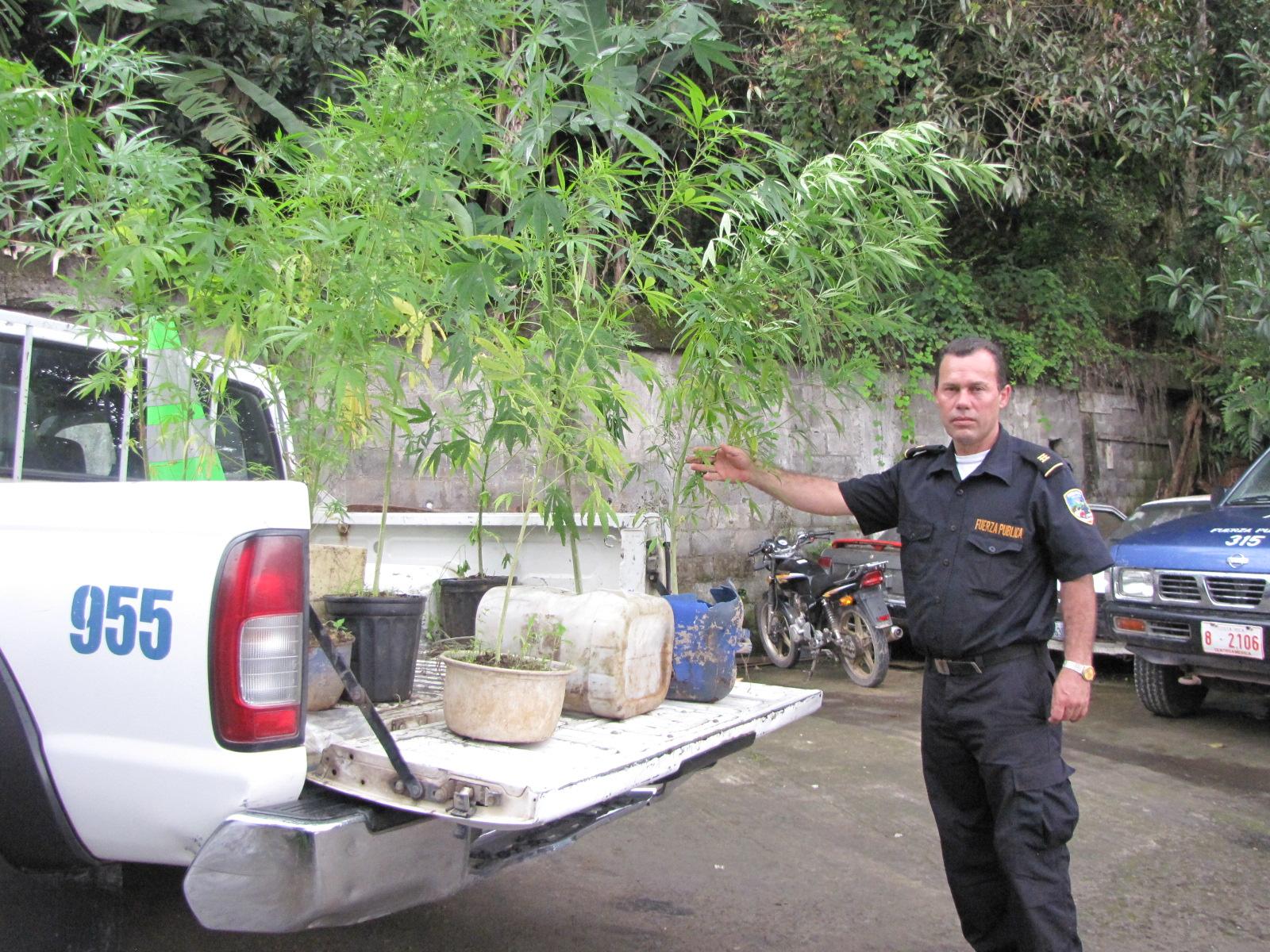 Wilson Jiménez, Director de la Fuerza Pública de Acosta, muestra las plantas de marihuana decomisadas hoy en Agua Blanca.